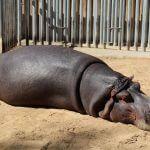 hipopòtam Zoo Barcelona