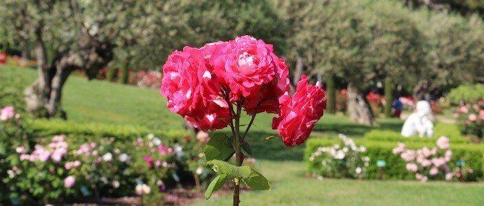roses jardí Cervantes