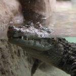 cocodril Zoo Barcelona