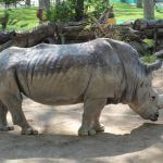 rinoceront Zoo Barcelona