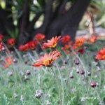 flors jardins Mossèn Costa i Llobera