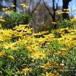 margarides jardins Mossèn Cinto Verdaguer